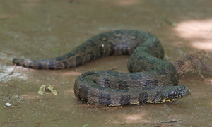 Brown_Water_Snake